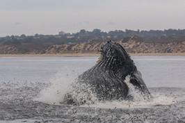 Humpback Whale. Monterey, CA.