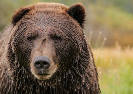 Grizzly Bear. Alaska Wildlife Conservation Centre, AK.