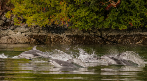 Pacific White-sided Dolphin. Campbell River, BC.