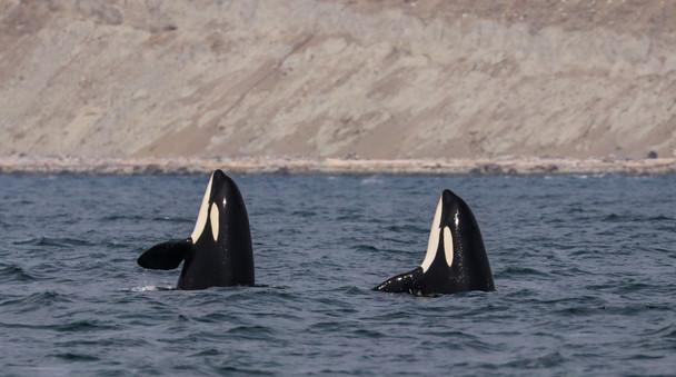 Killer Whales. San Juan Island, Washington.