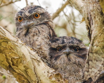 Tawny frogmouth. Port Stephens, NSW.