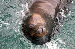 California Sea Lion. San Diego, CA.