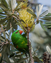 Scaly-breasted lorikeet. Port Stephens, NSW.