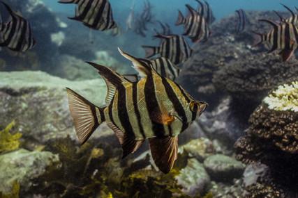 Enoplosus armatus (Old Wife), Port Stephens, NSW.