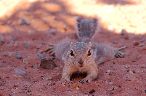 Antelope Ground Squirrel. Valley Of Fire, NV.