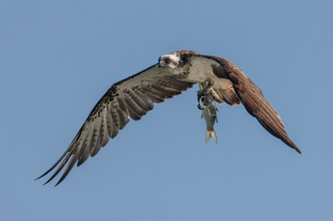 Eastern Osprey. Lake Macquarie, NSW.