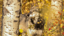 Kiba. Low content wolfdog. Yamnuska Wolfdog Sanctuary, BC.
