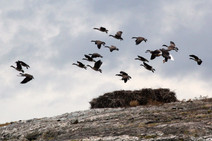 Canada Geese and Bald Eagle. WA.