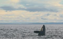 Killer Whale. San Juan Island, Washington.