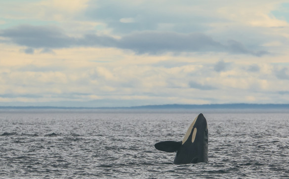 Killer Whale. San Juan Island, Washington.