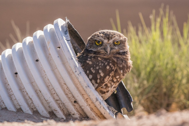 Burrowing Owl. Salton Sea, CA.