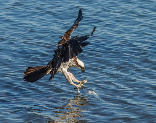 Eastern Osprey. Lake Macquarie, NSW.
