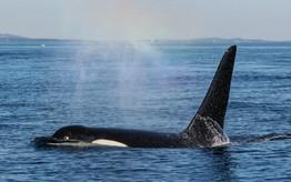 J27 'Blackberry'. Killer Whale. San Juan Island, Washington.