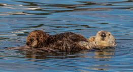 Sea Otters. Monterey, CA.