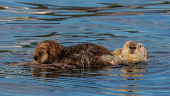 Sea Otters. Monterey, CA.