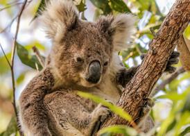 Koala. Port Stephens, NSW.
