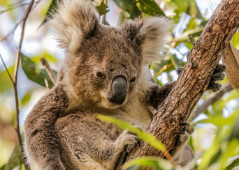 Koala. Port Stephens, NSW.