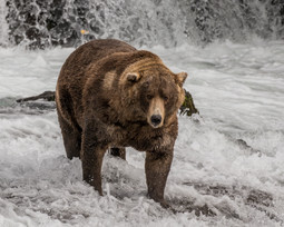 Grizzly Bear. Katmai National Park, AK.