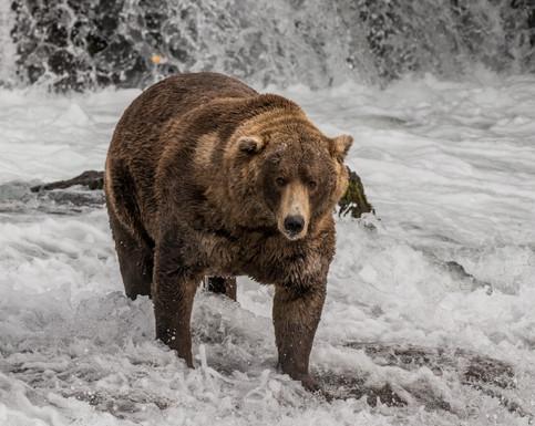 Grizzly Bear. Katmai National Park, AK.