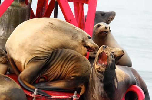 California Sea Lions. Newport, CA.