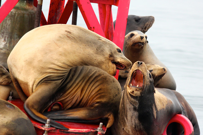 California Sea Lions. Newport, CA.