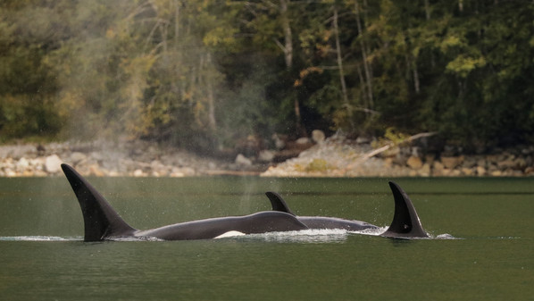 Killer Whales. Campbell River, BC.