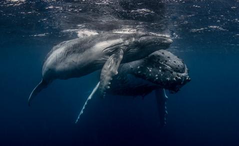 Humpback Whales. Kingdom of Tonga.