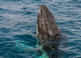 Humpback Whale. Port Stephens, NSW.