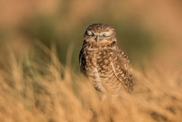 Burrowing Owl. Salton Sea, CA.
