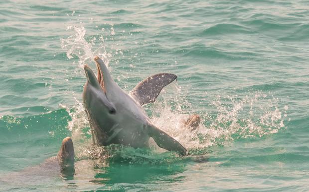 Bottlenose Dolphin. Port Stephens, NSW.