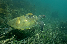 Green Sea Turtle. Port Stephens, NSW,