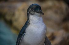 Little Penguin. Penguin Island, WA.