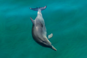 Bottlenose Dolphin. Port Stephens, NSW.