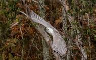 White- bellied Sea Eagle. Port Stephens, NSW.
