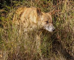 Dingo. Myall Lakes National Park, NSW.