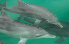 Bottlenose Dolphins. Port Stephens, NSW.