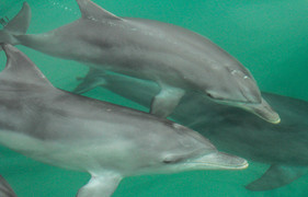 Bottlenose Dolphins. Port Stephens, NSW.