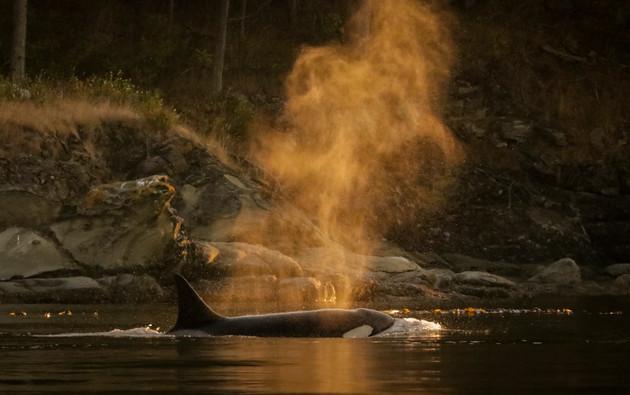 Killer Whale. Cowichan Bay, BC.