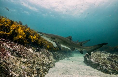 Grey Nurse Shark. Broughton Island, NSW.