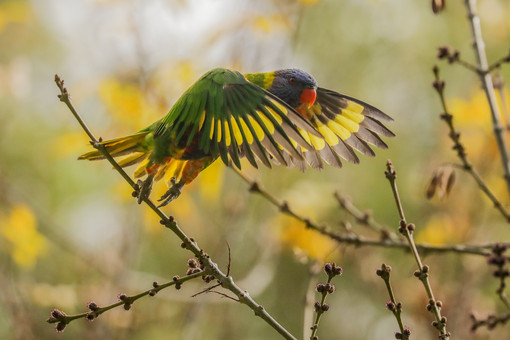 Rainbow Lorikeet. Adelaide, SA.