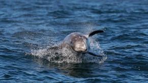 Risso's Dolphin. Monterey, California.