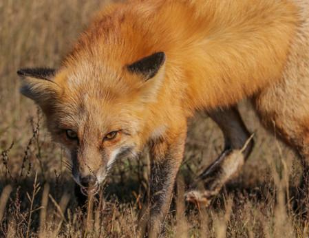 Red Fox. San Juan Island, WA.