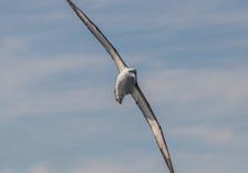 Yellow-nosed Albatross. Port Stephens, NSW.