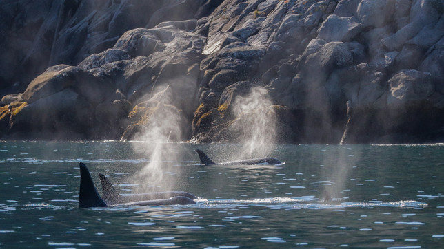 Killer Whales. Kenai Fjords National Park, AK.
