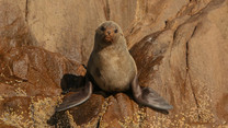 Long nosed fur seal. Port Stephens, NSW.