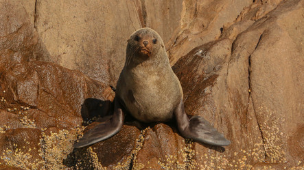 Long nosed fur seal. Port Stephens, NSW.