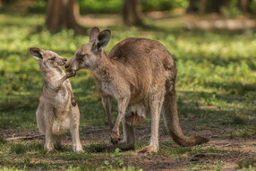 Eastern Grey Kangaroos. Morisset, NSW.