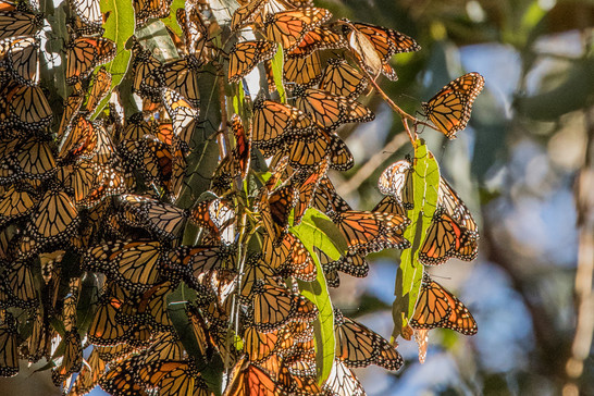 Monarch Butterflies. Natural Bridges State Beach, CA.