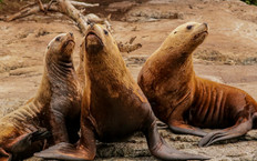Steller Sea Lions. Campbell River, BC.