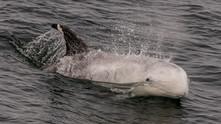 Risso's Dolphin. Monterey, CA.
